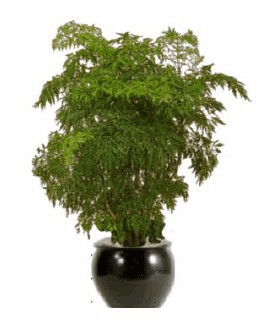 Ming Aralia Indoor Plant  sc 1 st  Artscape & High Light Plant Gallery - Artscape Interior Plant Specialists ...