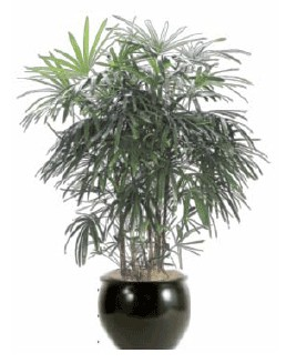 Lady Palm Indoor Plant